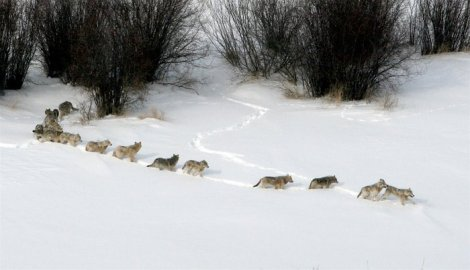 Nature Cold Warriors_pack traveling through snow