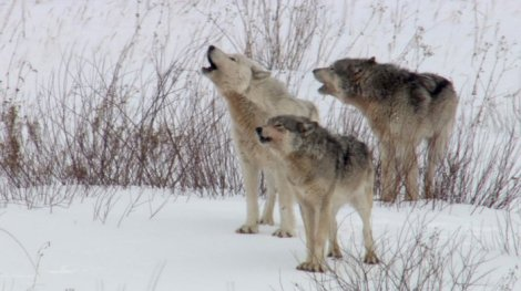 Stand up for wolves howling for justice naturecoldwarriors3wolves publicscrutiny Images