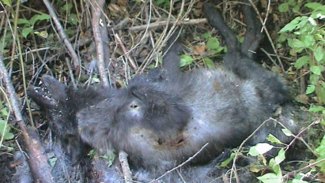 Dead Wolf Pup_Jay Mallonee
