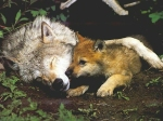 wolf mom and pup debs den dotcom