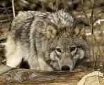 gray wolf dnrwi.gov