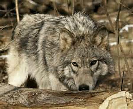 gray wolf dnr wi.gov