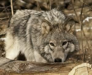 gray wolf wisconsin dnr wi.gov