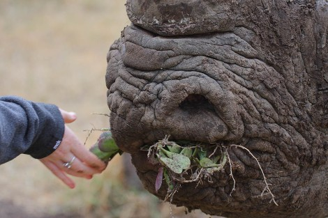 Black Rhino chewing on plants Wiki