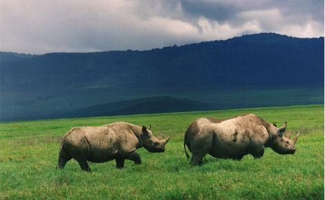 Black Rinos in Ngorongoro Crater Wiki