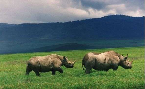 Black Rinos in Ngorongoro Crater Wiki