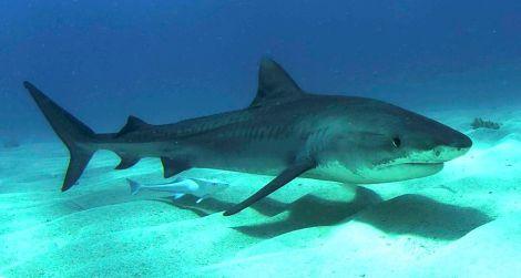 Tigershark juvenille Bahamas