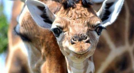 Another giraffe named Marius may be killed changedotorg