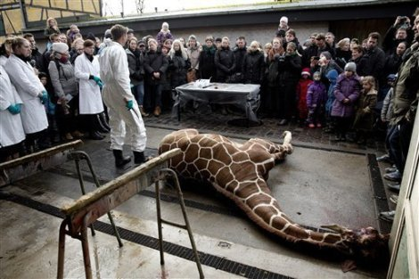 Giraffe_publically_killed_and_chopped_at_the_Copenhagen_Zoo.jpg Wiki