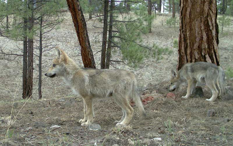 Two Middle Fork pups in the summer of 2011 photo courtesy of the Mexican wolf interagency field team