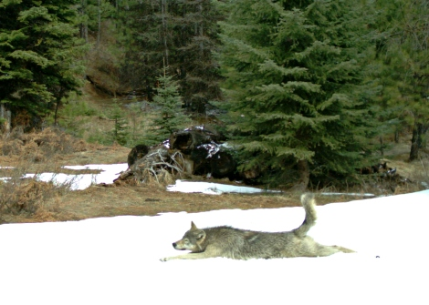 A subadult Wenaha wolf stretches in the snow in front of a remote camera in the Wenaha Wildlife Management Unit on April 13, 2013. Photo courtesy of ODFW 1