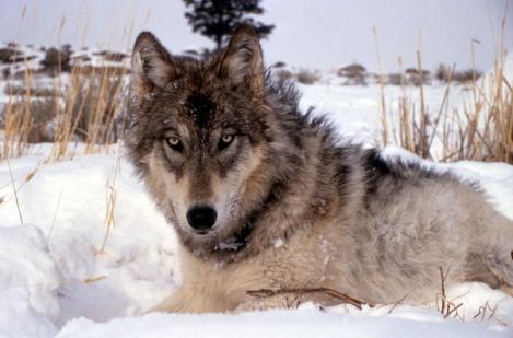 gray wolf USFWS