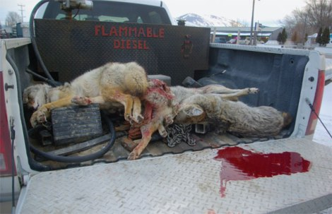 more dead coyotes