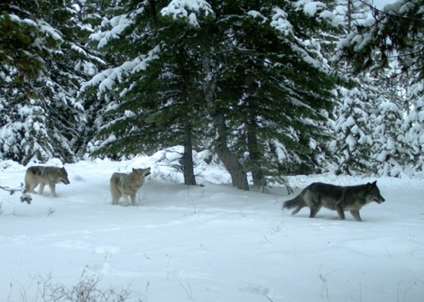 Remote camera pictures of the Minam wolf pack in Eagle Cap Wilderness of Wallowa County. Photos taken Dec. 14, 2012. Photo courtesy of ODFW