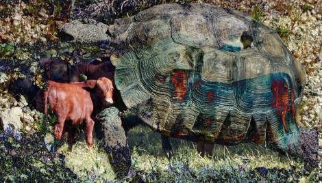 DesertTortoise_cows wikimedia commons