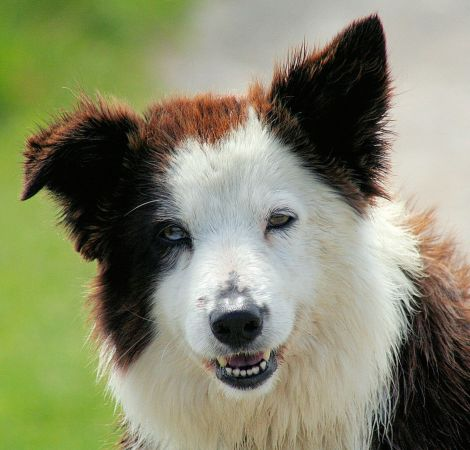Border_Collie wiki jpg