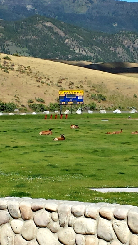 Elk lounging on high school field behind Yellowstone entrance 1