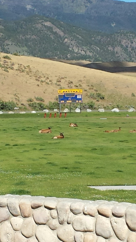 Elk lounging on high school field behind Yellowstone entrance