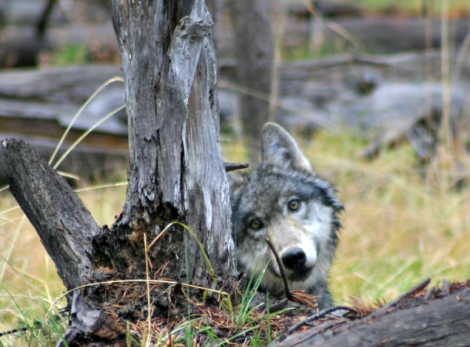 basin butte wolf pup 1