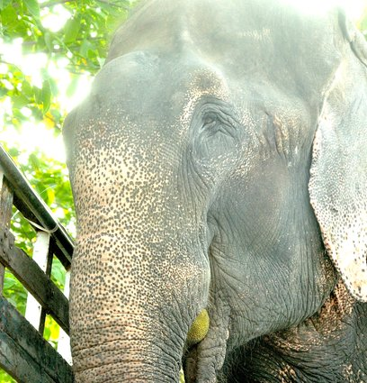 raju the elephant freed at last