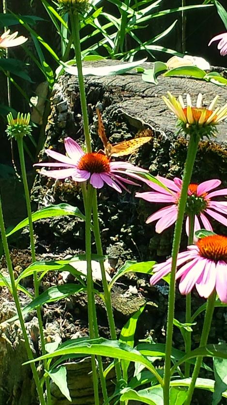 Butterfly on coneflower 1