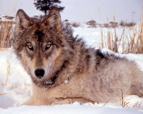 Gray wolf_National Park Service Photo