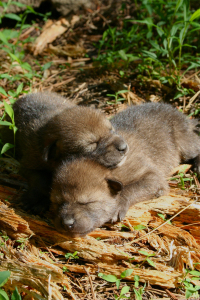 Red wolf puppies FWS Ryan Nordsven