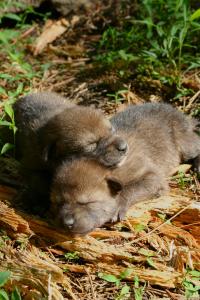 Red wolf puppies FWS Ryan Nordsven