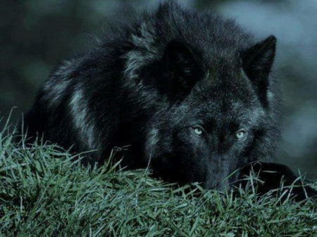 wolf in black and - photo #12