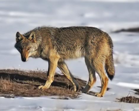 gray wolf_cc_Wikimedia user Walterince