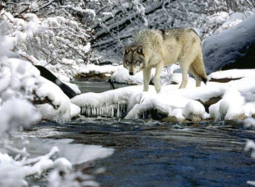 gray wolf in snow wallpaper