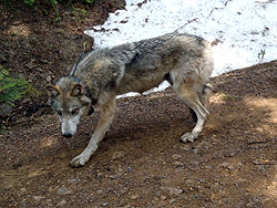 Teanaway pack wolf after collaring WDFW