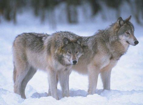 Gray wolves fws.gov