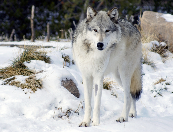 Can a female wolf be an alpha