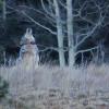 echo-grey-wolf-100×100