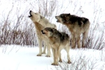 naturecoldwarriors_three_wolves