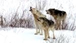 naturecoldwarriors_threewolves