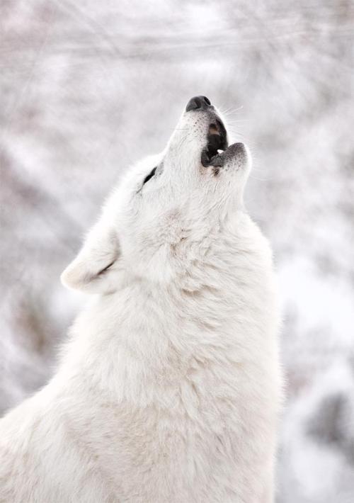 Crimson *Wolf RP*