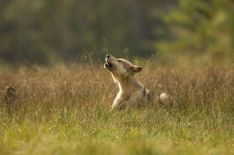 Wolf Puppy Wayne Pacelle Stock Photo