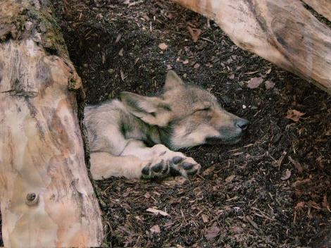 Wolf_puppy_sleep Wiki