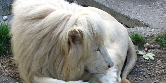 beli-lav-belgrade-zoo wiki