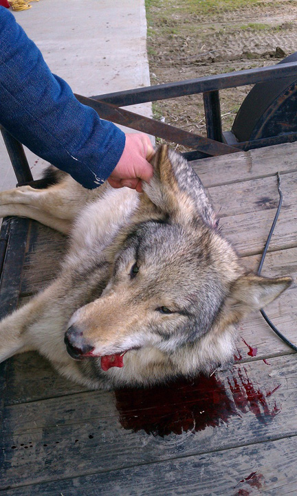 kentucky wolf shot_earth first newswire
