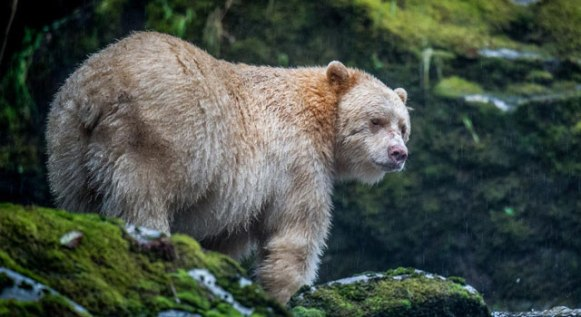 spirit-bear great bear rainforest_the nature conservancy