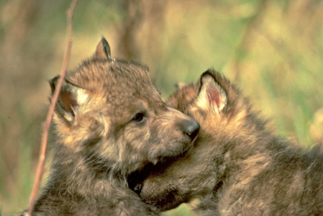 gray wolf pups-all-about-wolves 1