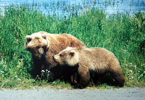 Mother grizzly_and cub Wiki