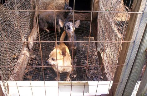 Miniture breed dogs in a puppy mill Wiki