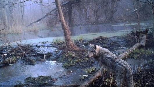 Chernobyl wolf Sergey Gashchak_Chornobyl Center