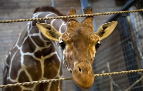 giraffe-rip-marius_reuters_keldnavntoft_scanpixdenmark