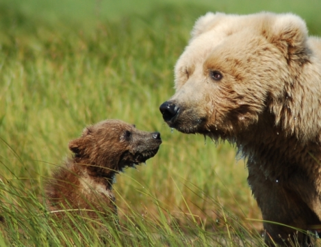 grizzly cub and mom