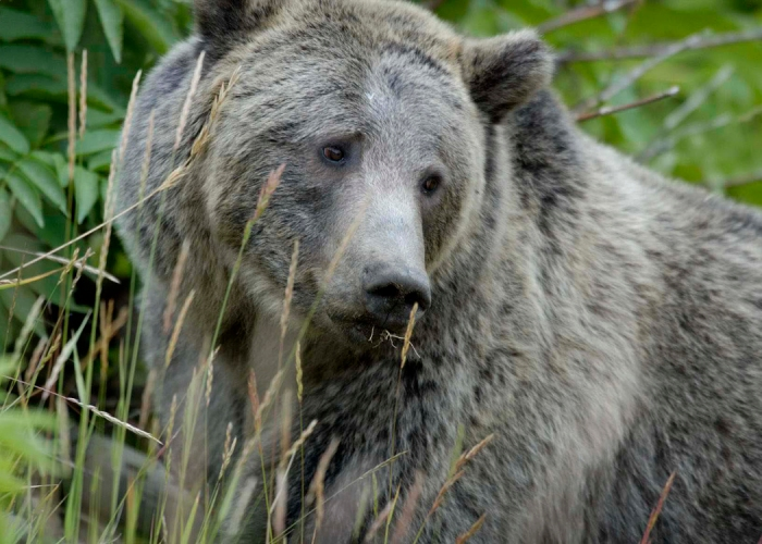 Female Grizzly Eating Grass
